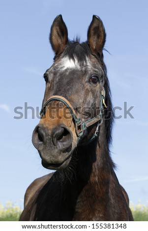 warmblood horse, horse, animal, farm animal