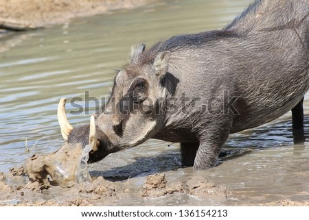 Warthog - African Wildlife - Digging up a bit of mud makes for a perfect bath.  This boar is actively busy digging a hole before going to lie down in it.
