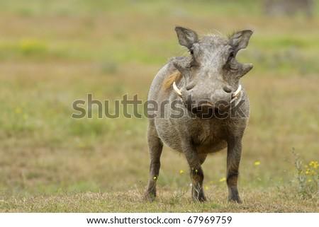 Warthog alerted - stock photo