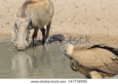 Warthog and Vulture - Wildlife and Scavenger from Namibia, Africa - Warily looking on, this hog knows very well that the vulture means trouble.  - stock photo