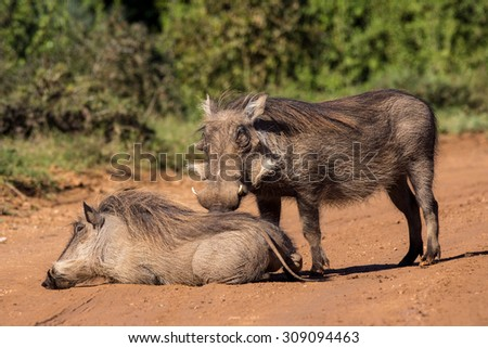 Warthog couple resting on dirt road in Addo Elephant Park South Africa