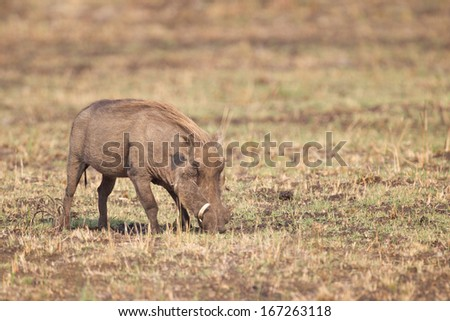 Warthog feeding on it's knees in Kruger National park, South Africa