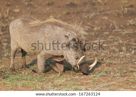 Warthog feeding on it's knees in Kruger National park, South Africa - stock photo