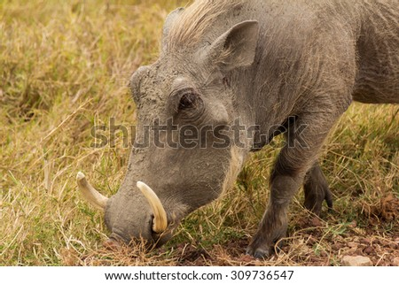 Warthog grassing at Lake Manyara