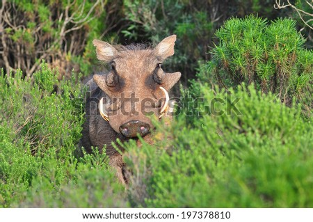 Warthog in the bushes