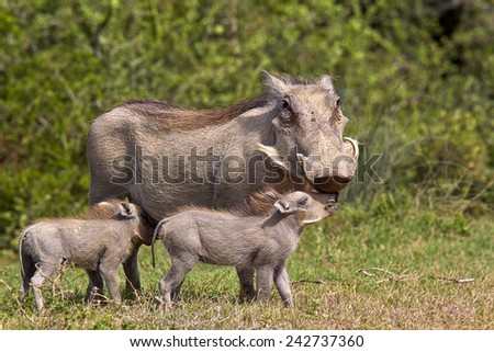 Warthog mother standing and and interacting with her young  - stock photo