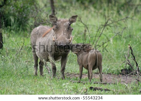 Warthog mum and piglet, South Africa - stock photo