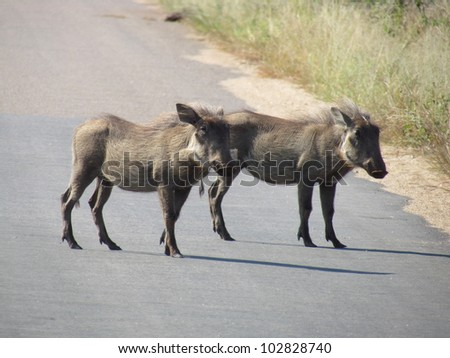 Warthog's on tar road. - stock photo