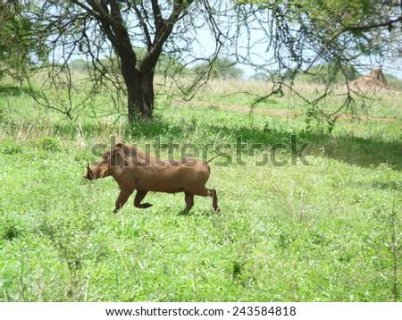 Warthog Tanzania - stock photo