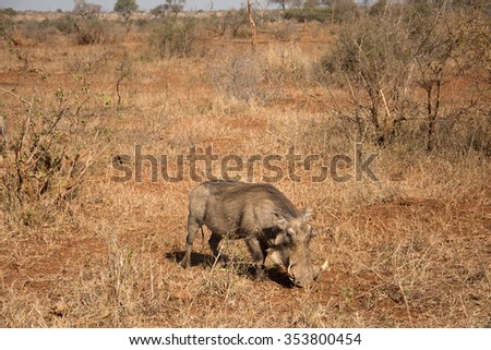 Warthog walking through a field in Kruger National Park, South Africa