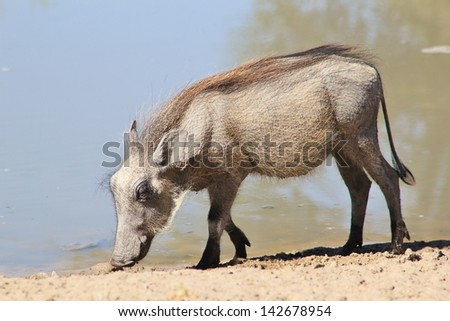 Warthog - Wildlife from Africa - Young Life.  A piglet searches for scraps around a watering hole on a game ranch in Namibia.