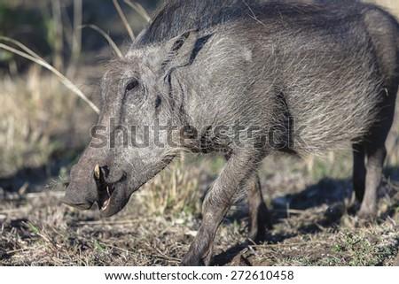 Warthog Wildlife Warthog animal closeup in wilderness wildlife terrain landscape - stock photo