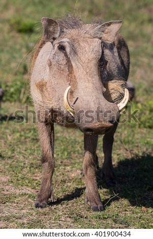 Warthog with sharp tusks and coarse body hair - stock photo