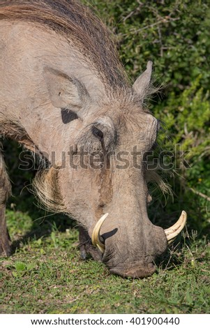 Warthog with sharp tusks and coarse body hair