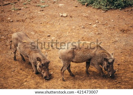 Warthogs  in national park Nairobi, Kenya