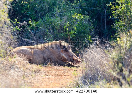 Warthogs Will Hide - Phacochoerus africanus - The common warthog is a wild member of the pig family found in grassland, savanna, and woodland in sub-Saharan Africa. - stock photo