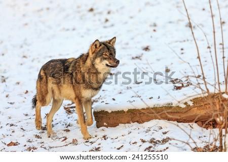 wary Eurasian wolf  - stock photo