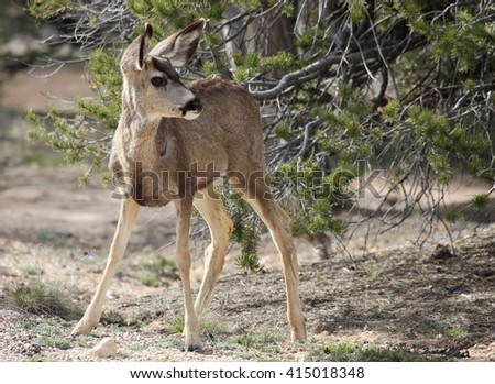 Wary Young Mule Deer in the Pine Forest  - stock photo
