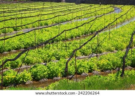 Wasabi farm, Azumino, Nagano, Japan  - stock photo