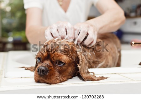 Washing The Dog In The Sink - stock photo