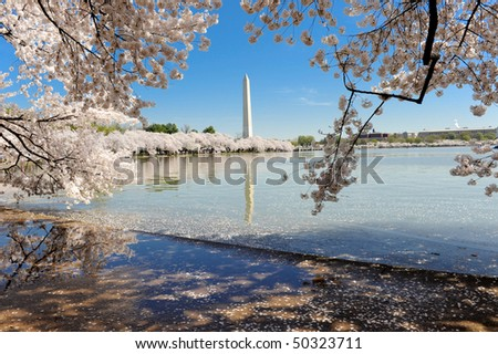 Washington D.C. Cherry Blossoms - stock photo