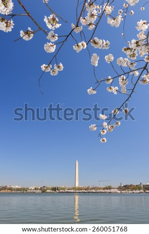 Washington DC in Spring - Cherry Blossoms and Washington Monument  - stock photo