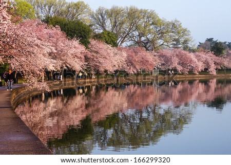 WASHINGTON, DC - MARCH 17:  Cherry trees along the Tidal Basin in Washington, DC on March 17, 2012 with unidentified tourists are in full bloom and reflecting in the water of the Potomac River. - stock photo