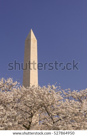 WASHINGTON, DC, USA - MARCH 30, 2006: Cherry tree blossoms at the Washington Monument.