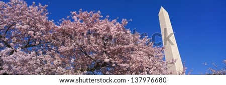 Washington Monument and blooming spring cherry blossoms in Washington, D.C. - stock photo