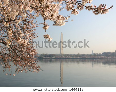 Washington Monument with cherry blossoms in the foreground (blossoms in focus)