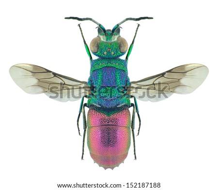 Wasp Chrysis sexdentata (male) on a white background - stock photo