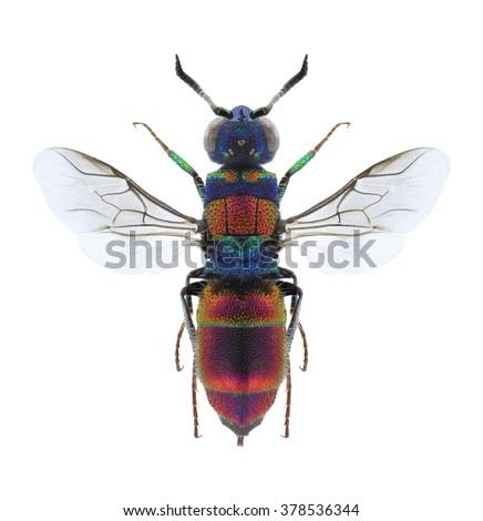 Wasp Chrysis succincta on a white background - stock photo