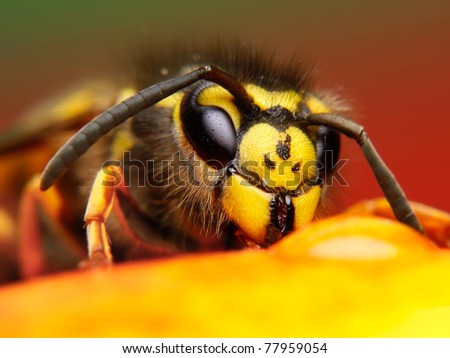 Wasp close up - stock photo