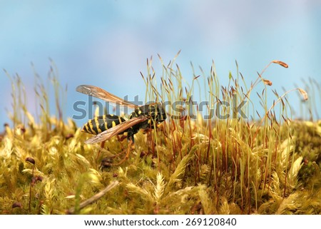 Wasp in the forest on fresh green lush moss. Macro. - stock photo