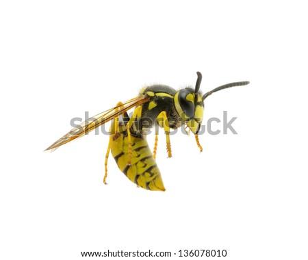 雀蜂 写真素材・ベクター・画像...