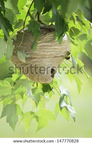 Wasp nest hanging from tree branch with leaves in daylight.  - stock photo