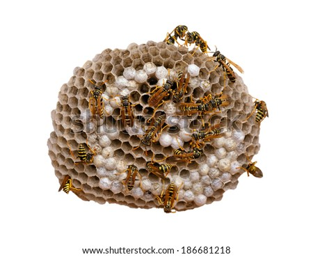 Wasp nest isolated on white, with wasps working and feeding the larvae. Also visible some eggs in the cells. With clipping path. - stock photo