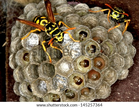 Wasp Nest with Pupae - stock photo