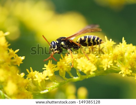 wasp of the garden on a yellow wild flower, macro, selective focus on head - stock photo