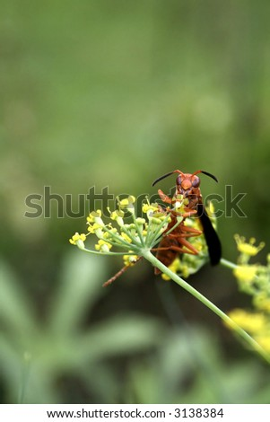 Wasp on a Fennel Plant - stock photo