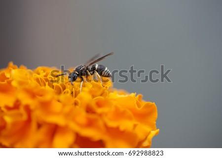 stock-photo-wasp-on-a-marigold-wasp-6929