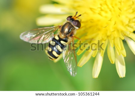 Wasp on Dandelion