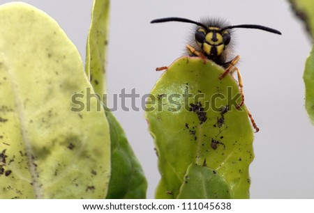 Wasp resting atop a vegetable garden leaf appears to be smiling - stock photo