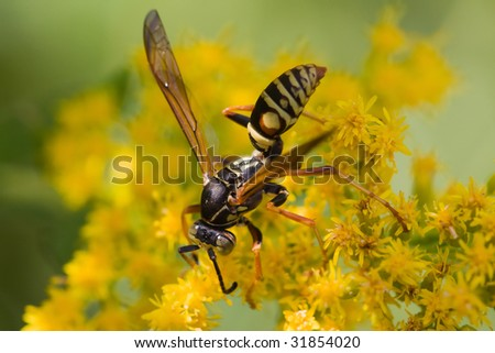 Wasp searching for pollen on a flower.