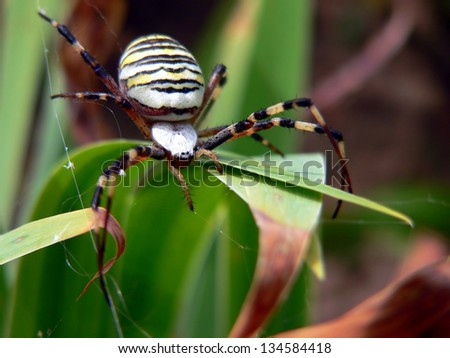 Wasp spider - Argiope bruennichi - stock photo