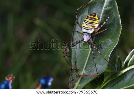 wasp spider  (Argiope bruennichi) in the foliage - stock photo