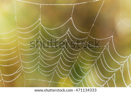 Wasp spider, Argiope, spider web covered by water droplets and dew