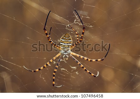 Wasp spider hanging on its web. Dorsal view. Argiope trifasciata