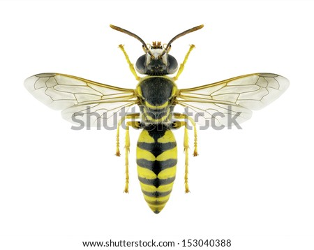 Wasp Stizus continuus on a white background - stock photo