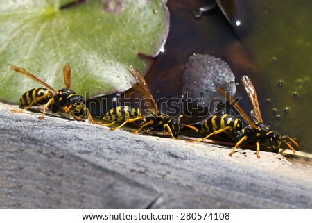 Wasps / Group wasps drinking water from a pond. - stock photo